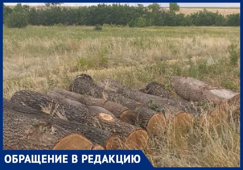Десятки столетних дубов вырубают под Волгоградом