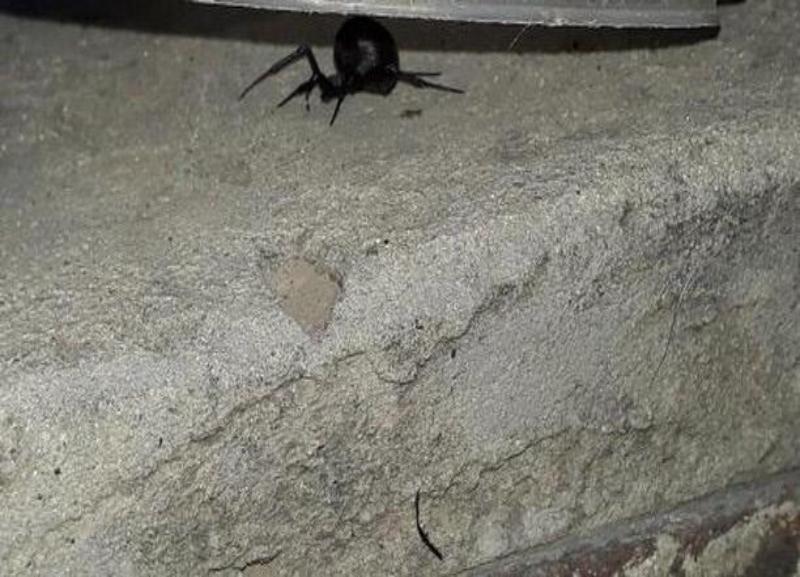 Нашествие ядовитых пауков в Волгограде продолжается: еще один каракурт был обнаружен на территории частного дома