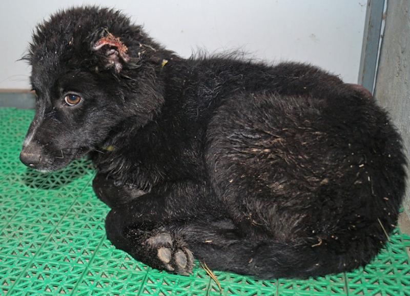Неизвестные отрезали щенку уши в Волгограде и бросили выживать