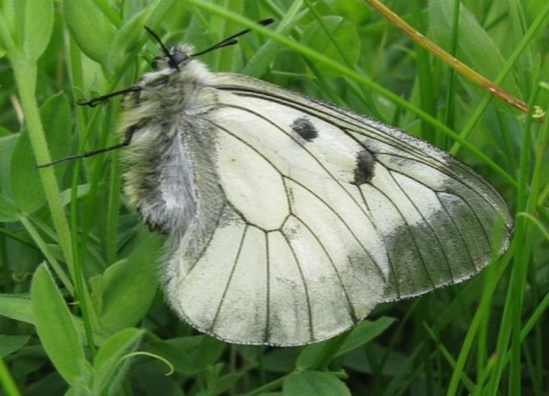В Волгоградской области исчезает бабочка с одноименным названием издательства школьных учебников