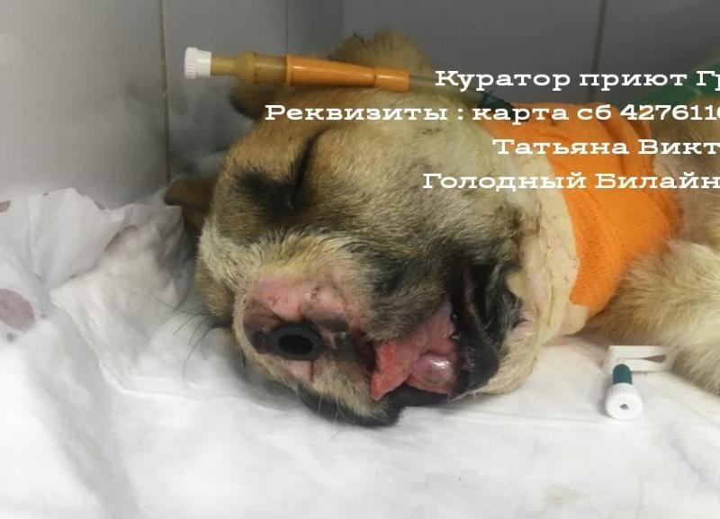 Еще одну операцию по вживлению тоннелей пережил щенок с огнестрельным ранением из Волгограда