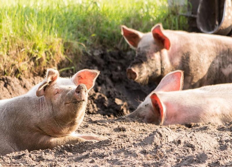 Африканскую чуму свиней не пытались остановить в Волгоградской области