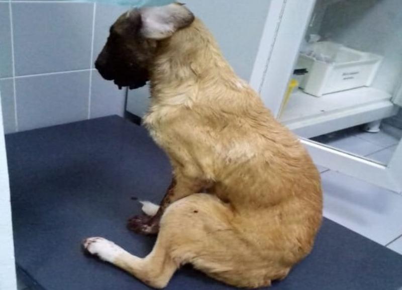 Звезда «Дома-2» присоединился к спасению щенка с тяжелым огнестрельным ранением в челюсть из Волгограда