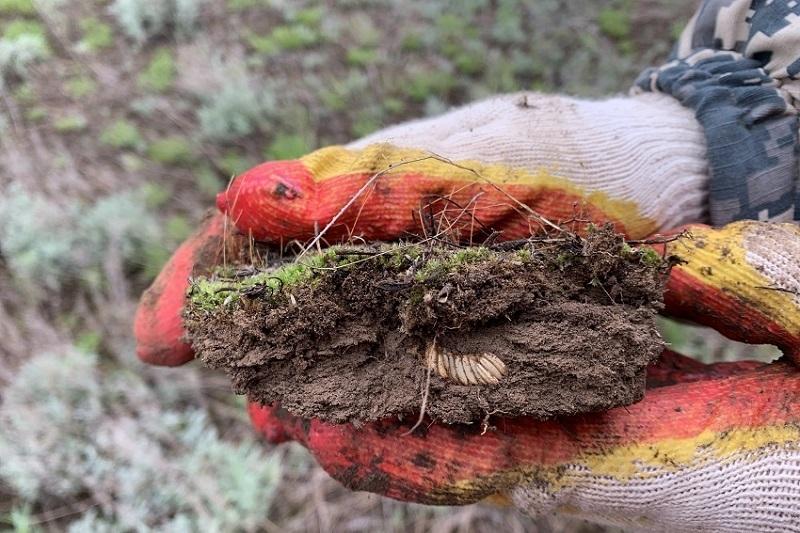 Три района Волгоградской области поражены саранчой
