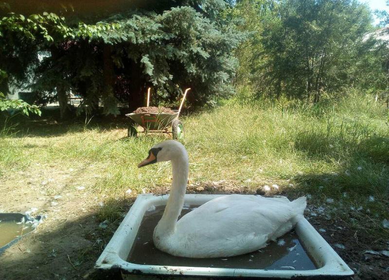 Лебедей в парке Камышина держат в поддонах с горячей водой