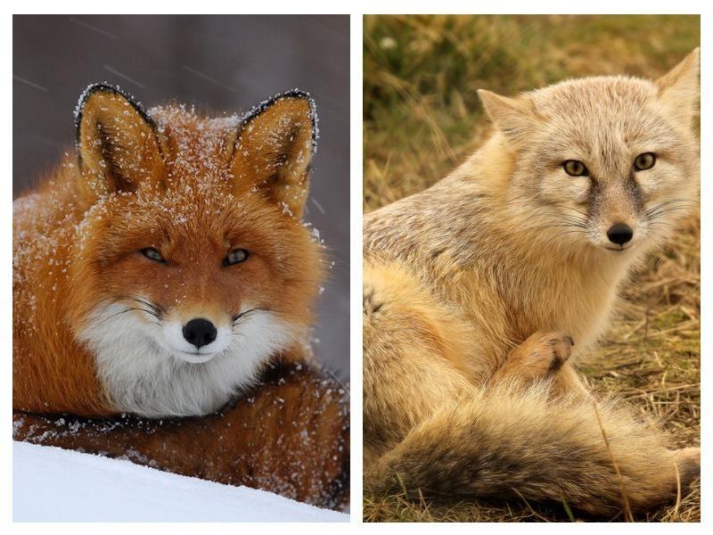 Почему нет рыжих: интересные факты о волгоградских лисах