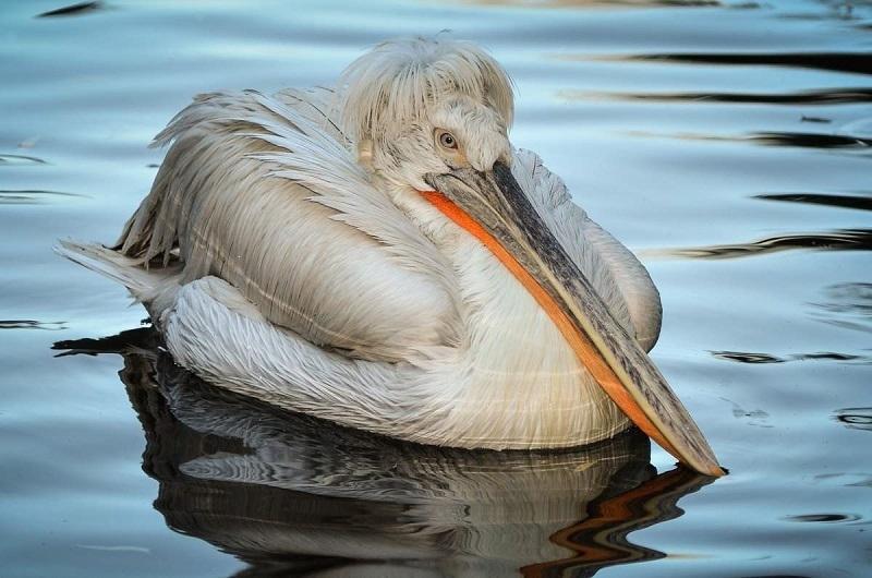Птица с оригинальной прической пропадает из Волгоградской области