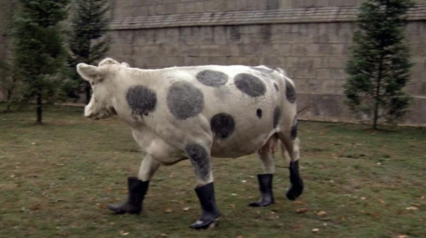 Натрассе под Волгоградом сбитая корова приземлилась напастушку