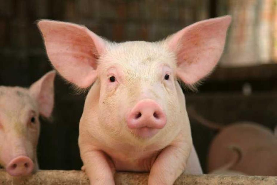 82 опасные свиньи бродили по Дубовскому району