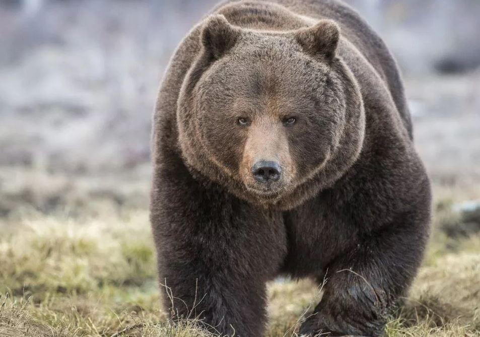Под Волгоградом сбежавшая из клетки медведица вернулась домой