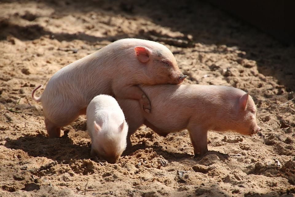 Вспышку африканской чумы свиней обнаружили в Волгоградской области