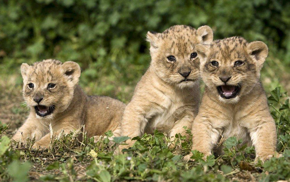 В Волгограде львица Росгосцирка Анна родила трех детенышей