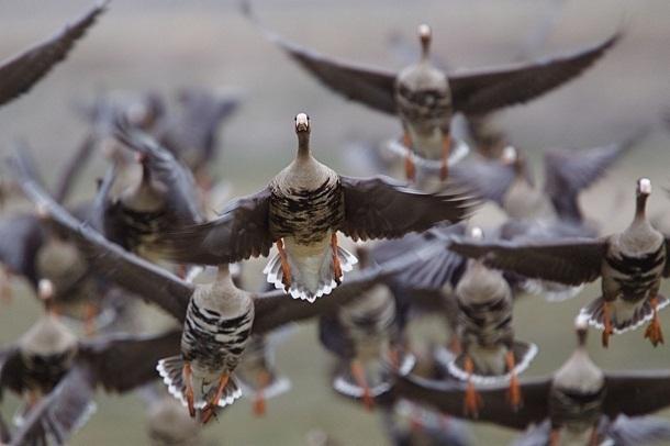 В Волгоградской области с сегодняшнего дня разрешено отстреливать птиц