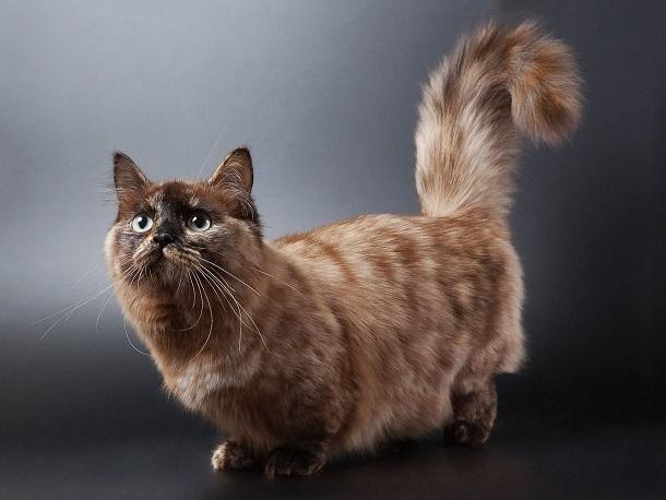 Коротколапые кошки манчкины могли зародиться в Сталинграде
