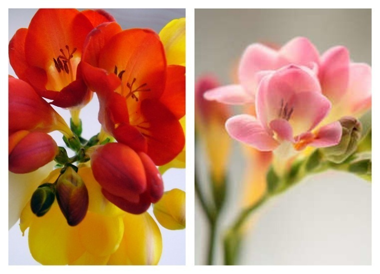 Любимые цветы французских королей наполнили благоуханием волгоградский ботсад