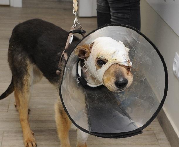 Иностранцы заинтересовались судьбой волгоградского пса Рекса со снятым скальпом