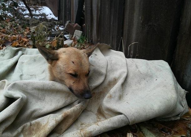 Живодеры расстреляли беззащитную собаку из пневматики на западе Волгограда