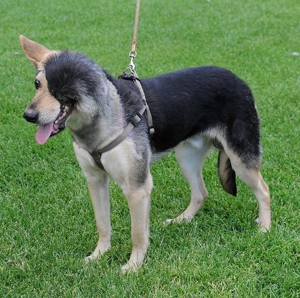 Получивший новое «лицо» изуродованный пес ищет хозяев в Волгограде