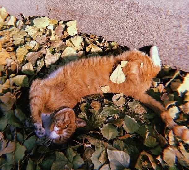 Волгоградка сняла на видео рыжего котика, «купающегося» в осенних листьях