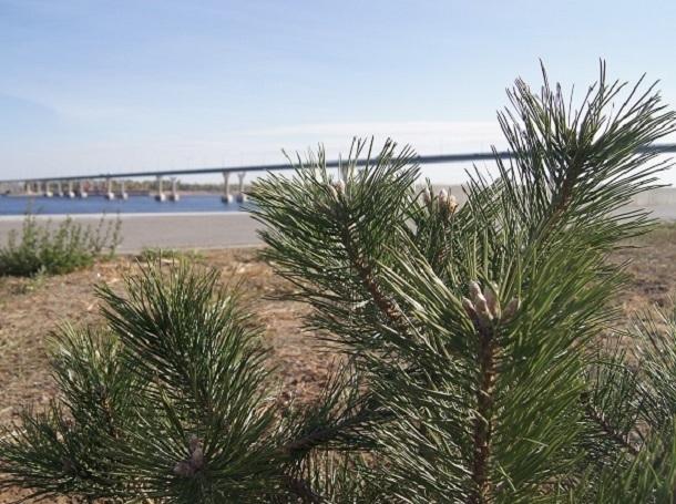 Сад из крымских сосен появится на набережной Волгограда